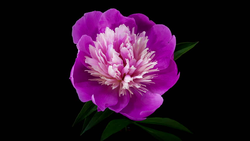 Timelapse of pink peony flower blooming on black background
