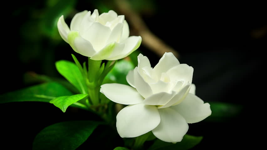 timelapse of white gardenia flower blooming on black background, Natural flower