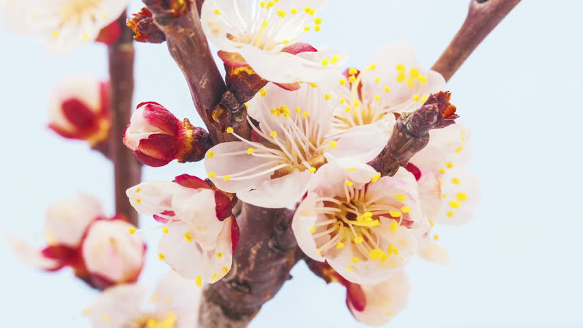 HD macro timelapse video of an apricot flower growing and blooming on a blue background/Apricot flower blossoming time lapse