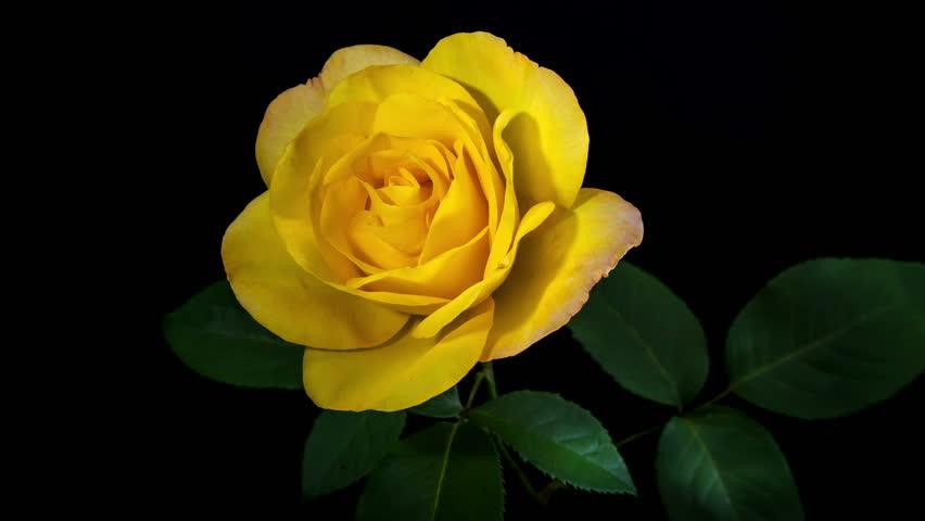 Timelapse Of Yellow Rose Flower Video De Stock Totalmente Libre De