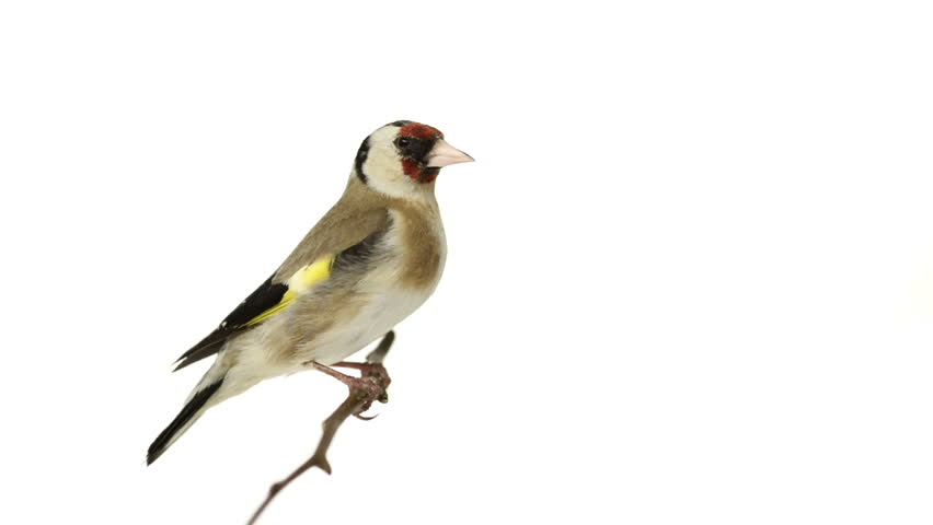European Goldfinch perched on a branch