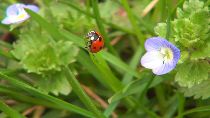 Ladybug on Field Flowers on Meadow, Walking Ladybird on Lawn, Bug, Macro
