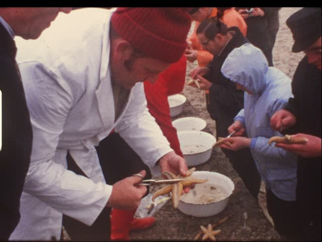 HELGOLAND, GERMANY - CIRCA 1970s: People cut up starfish in Helgoland, Germany circa 1970s. Vintage 8mm film. #3870893