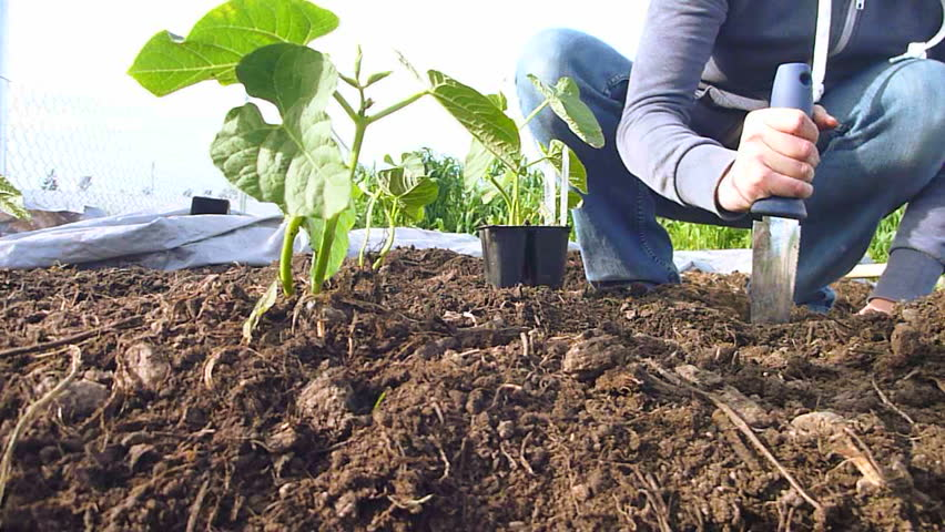 Woman planting vegetables at community garden in Portland, Oregon - real time.