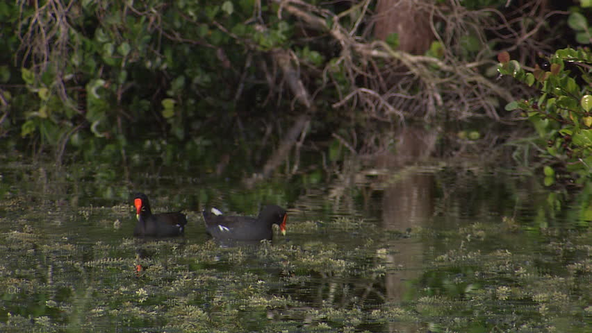 A pair of s feed in the water (purple gallinule) #3915443