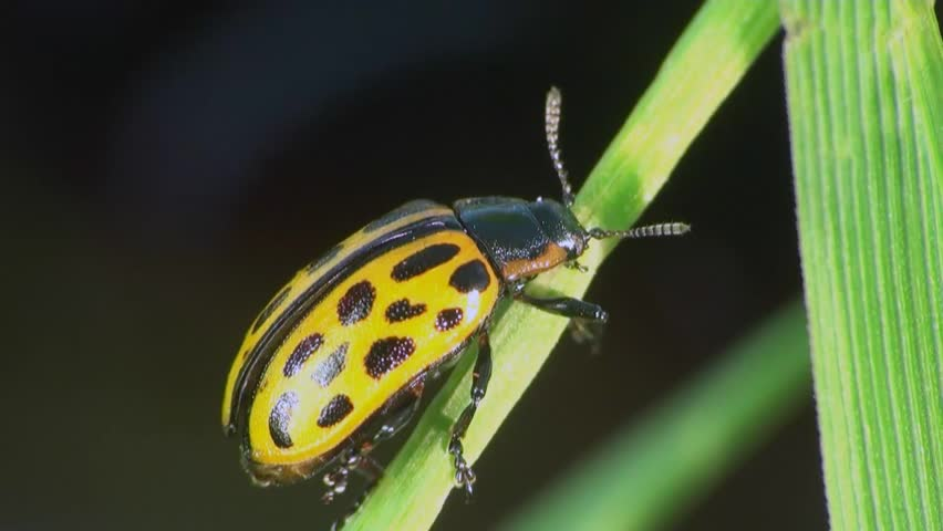 Psyllobora vigintiduopunctata sitting on leaf