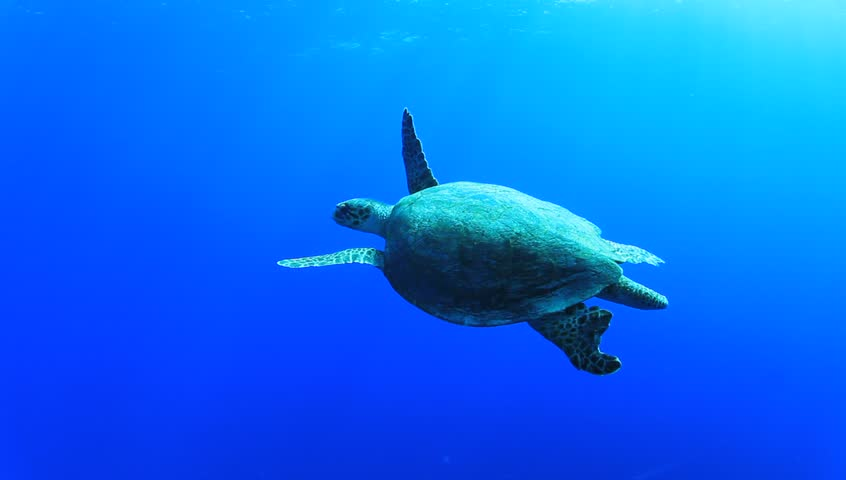 Hawksbill Turtle Underwater Stock Photos & Hawksbill Turtle ...