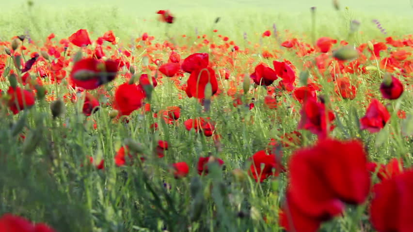 Red flowers and morning dew in park blured background stock footage field of red poppy flowers in early summer hd stock video clip mightylinksfo