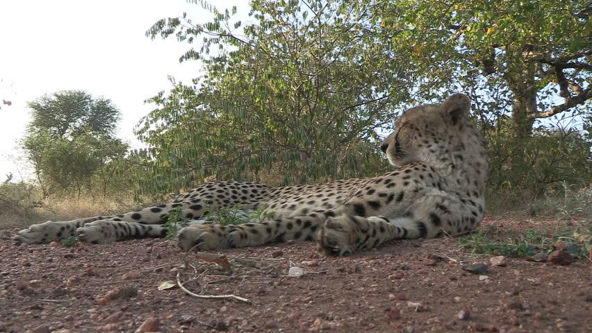 cheetah laying on road close up