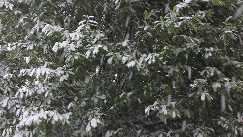 Snow on a background of a bush | Shutterstock HD Video #4001623