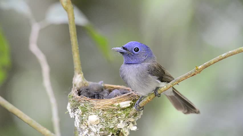 Black-naped Monarch or Black-naped Blue Flycatcher guarding his chiks in the nest, blue bird | Shutterstock HD Video #4004950