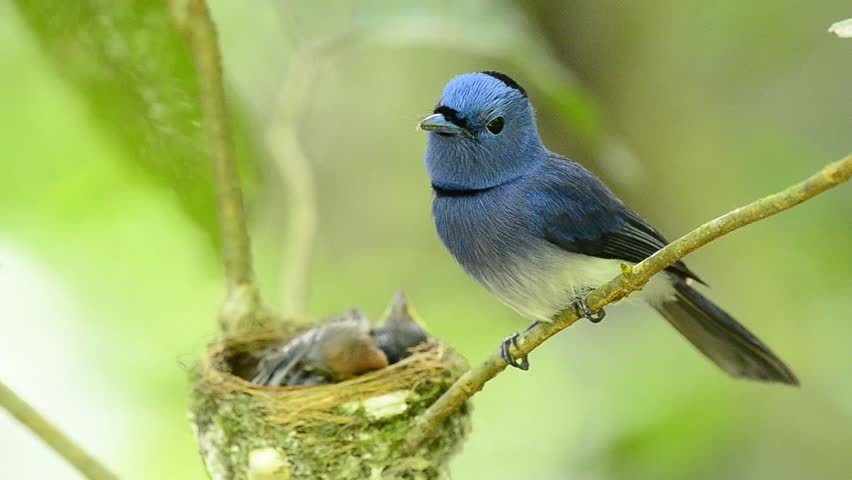 Black-naped Monarch or Black-naped Blue Flycatcher keep watching his chicks in the nest with love, blue bird | Shutterstock HD Video #4004953
