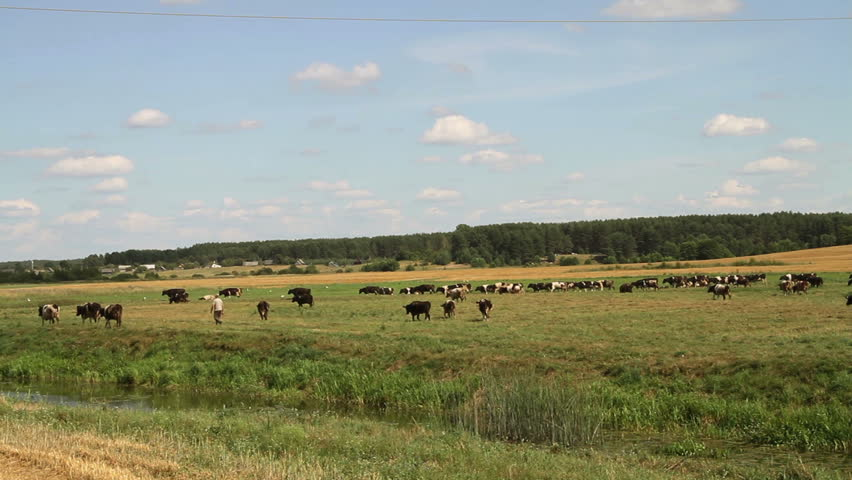 Cows on pasture eating grass   Shutterstock HD Video #4005523