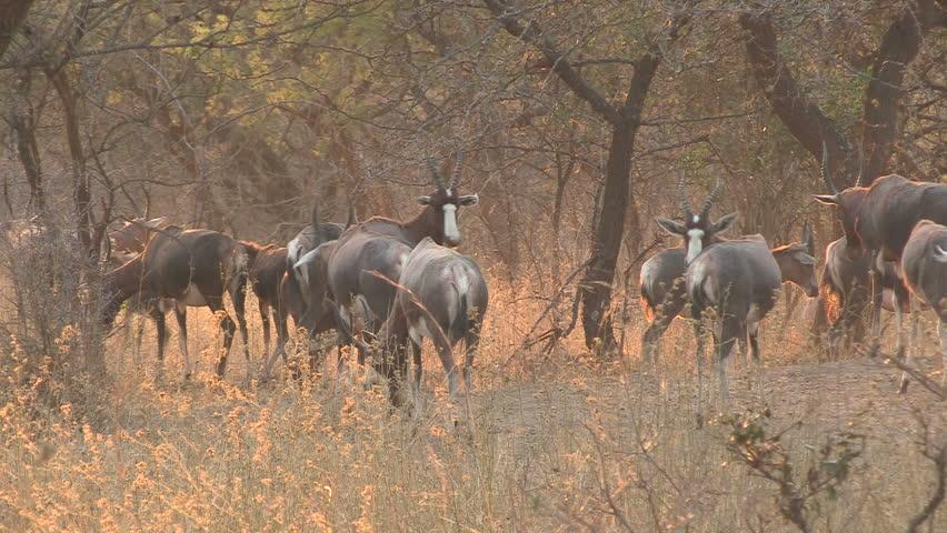 Header of bontebok
