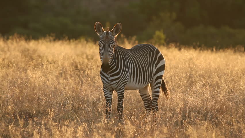 Cape Mountain Zebra (Equus zebra) in late afternoon light, Mountain Zebra National Park, South Africa
