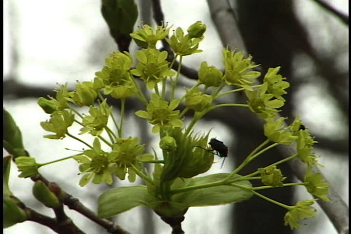 Green buds and little green flowers sprouting from tree branch in Pennsylvania.