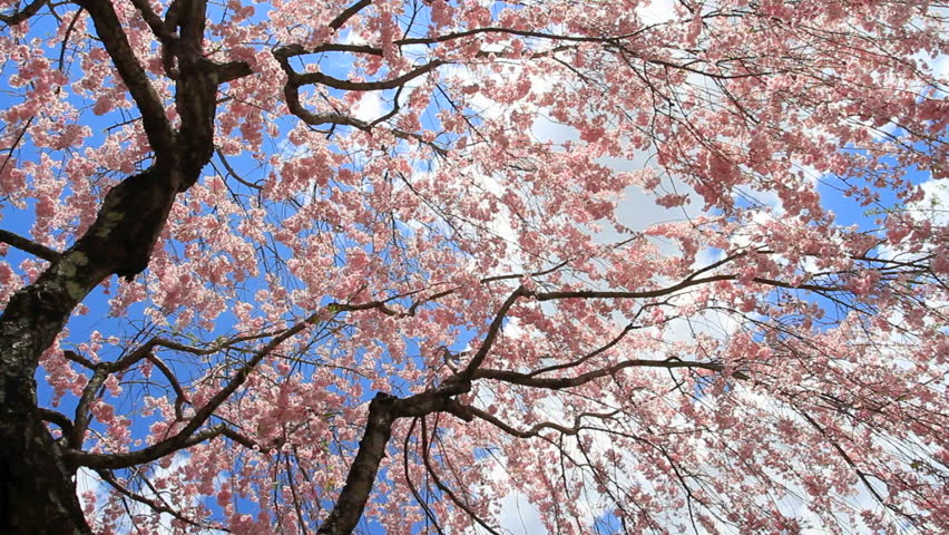 Cherry blossom with blue sky and clouds in background.