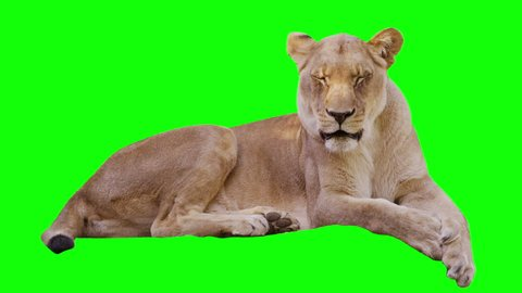 Lioness yawning  on greenscreen. Shot with Red camera.