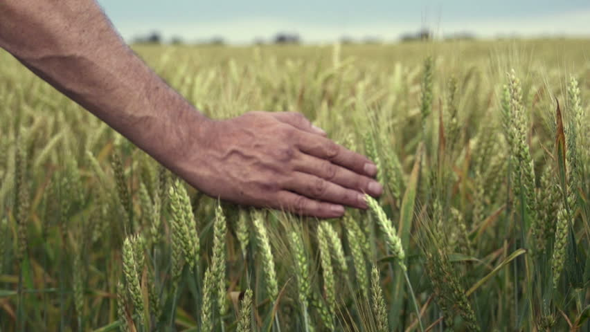 Close-up of hand running through wheat field, dolly shot