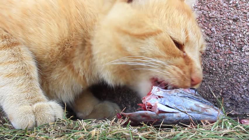 Cat eating fish. Zoom in to mouth. Young tabby cat with a bloody face, eating it