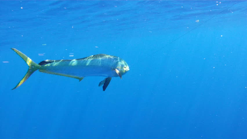 Mahi Mahi Underwater: 1080 HD sport fishing footage of saltwater game fish Mahi Mahi, a.k.a. Dolphin or Dorado, in the clear blue water of the Atlantic Ocean off the Florida Coastline.