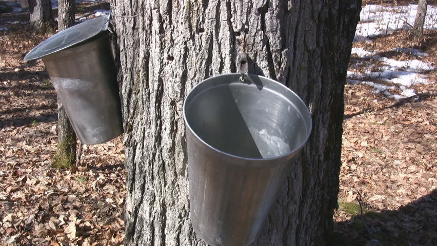 Wooded Rural Area With Maple Trees Tapped To Harvest Sap For Maple Syrup