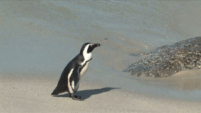 African Penguins also know as Jackass Penguin running a round flipping wings on a nesting beach in Cape of Good Hope, South Africa | Shutterstock HD Video #4208173