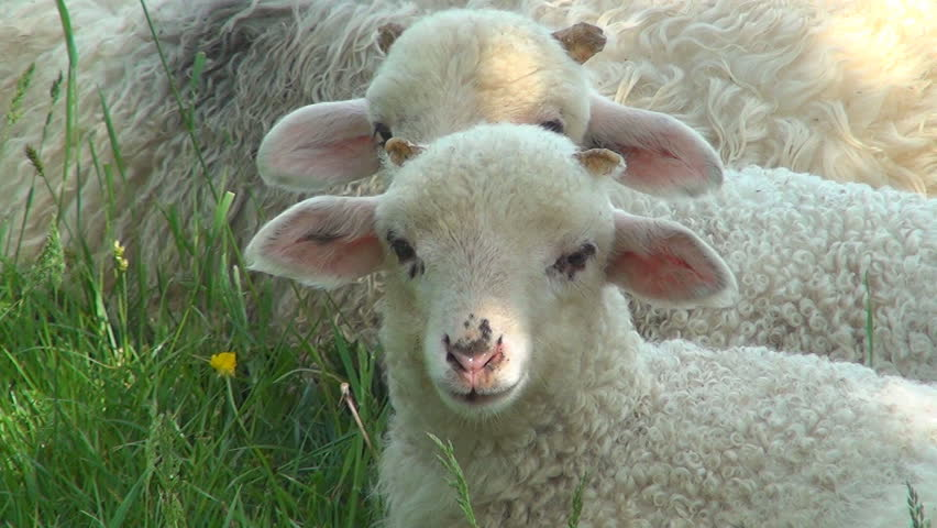 Close up of Lambs Head Chewing, Sheep on Meadow, Field, Farming