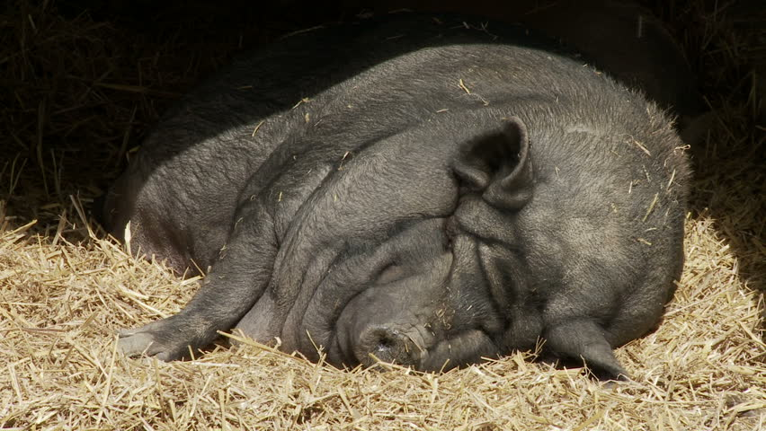 Vietnamese Potbellied Pig resting on a pile of straw.