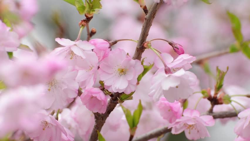 Close Up Video Of Sakura Cherry Blossom, Made From Raw Video Stock ...