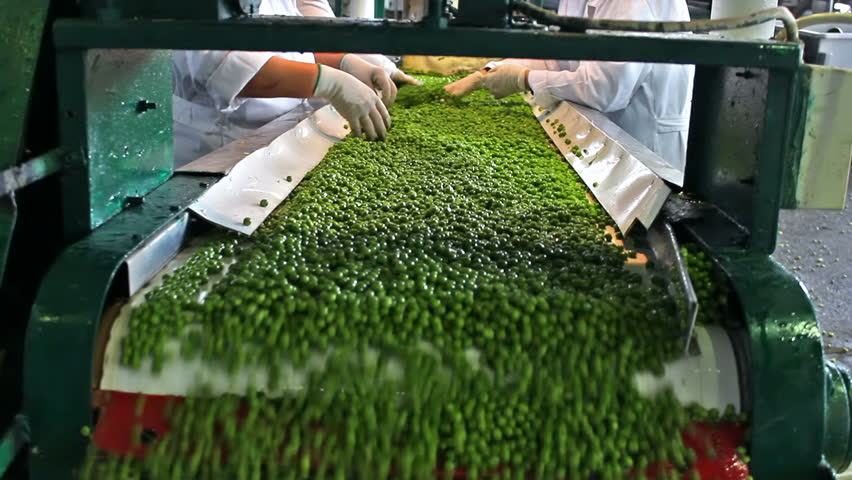 peas processing factory ; workers on the conveyor belt control the quality of of raw peas before going to processing, video clip