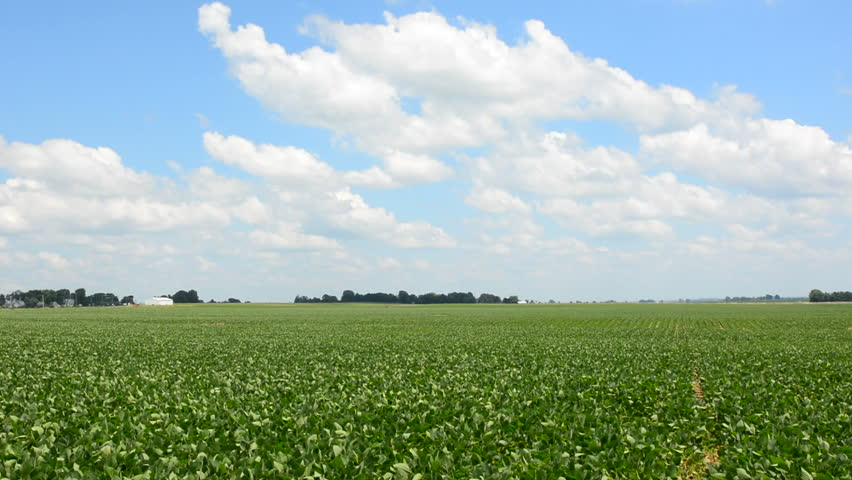 Expansive soybean field in farmland found in central Illinois