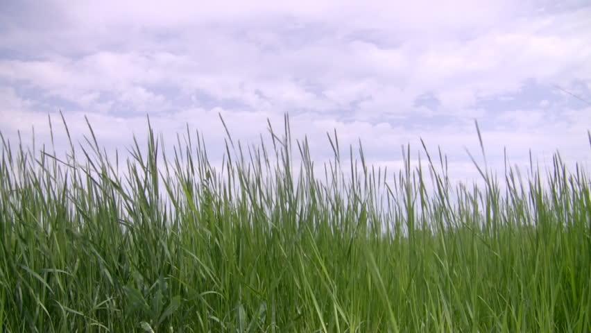 tall green grass field. Stock Video Of Tall Green Grass Against Cloudy Sky. | 430723 Shutterstock Field E