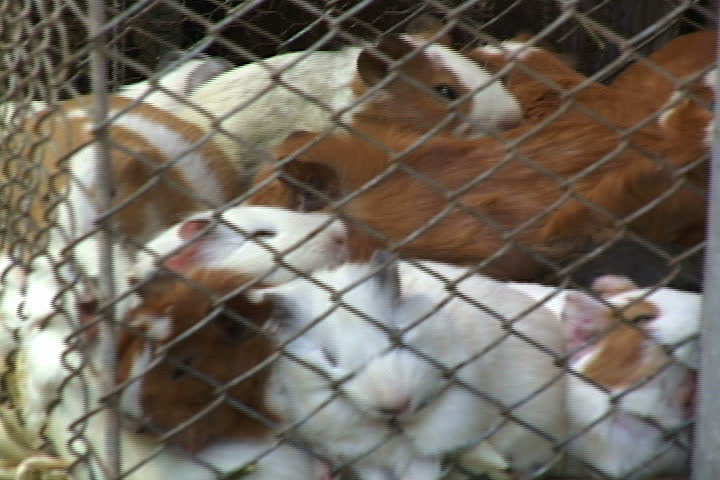 COCHABAMBA, BOLIVIA - FEBRUARY 06, 2001: Cage filled with live guinea pigs for