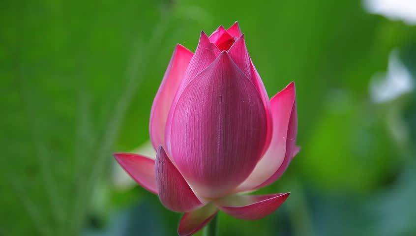 Blooming Lotus Flower In The Stock Footage Video 100 Royalty Free