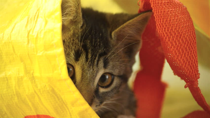 Tabby cat playing in a bag
