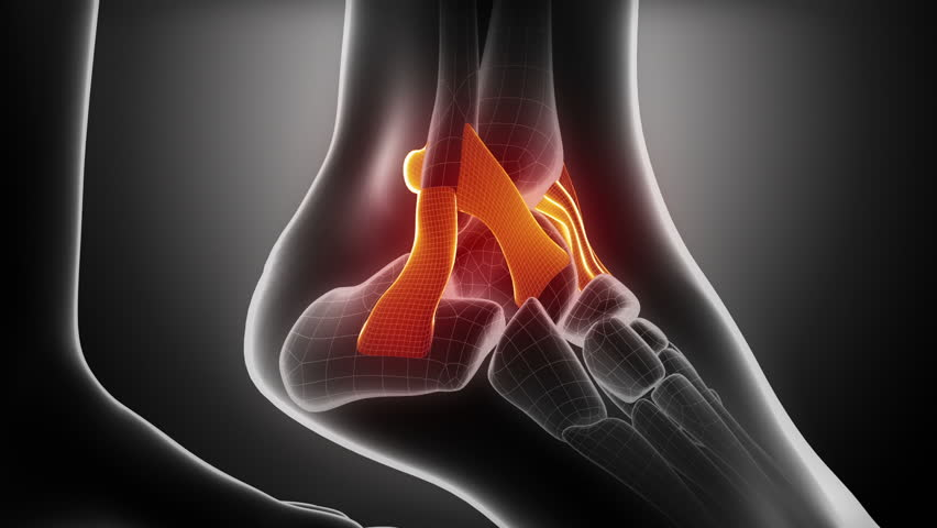 Ankle ligaments anatomy