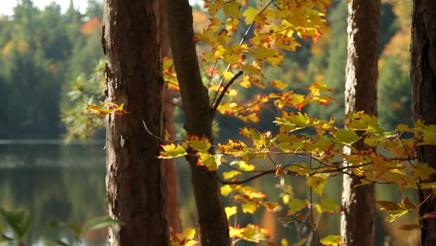 Golden red-tipped leaves flutter in the wind in an autumnal forest beside a lake