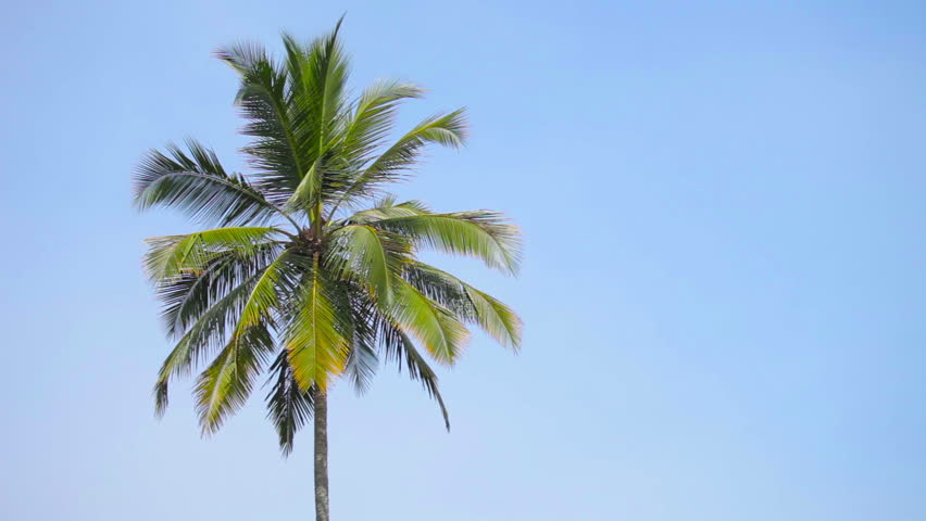 Video 1080p - Swaying palm tree against the blue sky