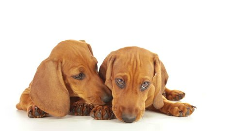 White background. A dachshund puppy licks face of another puppy