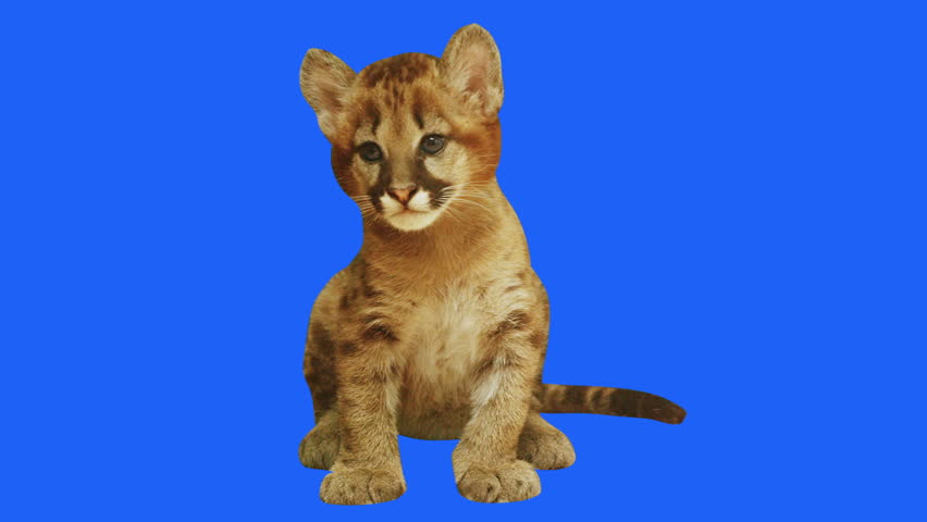 Baby puma on blue background. Shot with Red camera ready to be keyed.