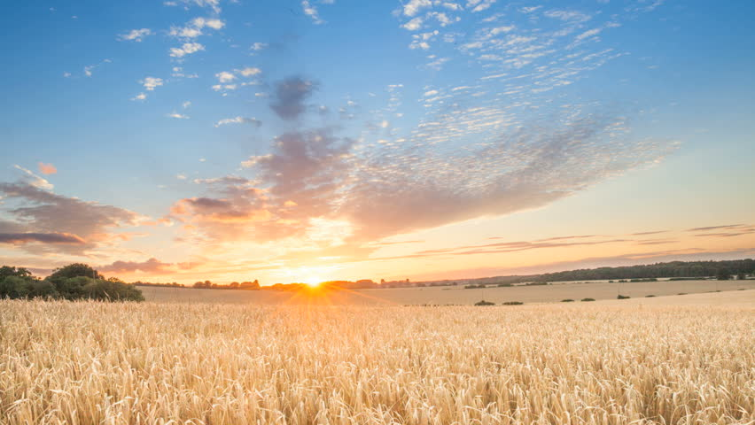 sunrise among a wheat fields in the summer uk