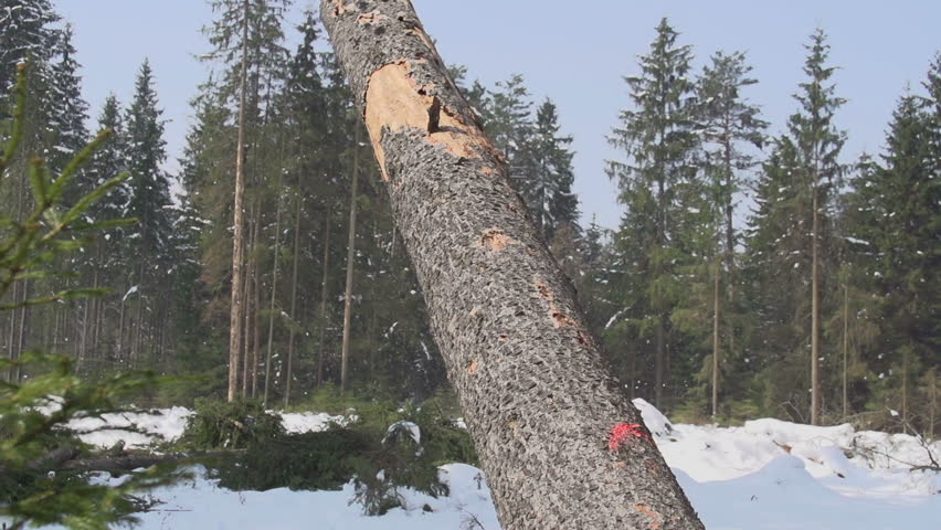 SLOW MOTION: Spruce tree falling down