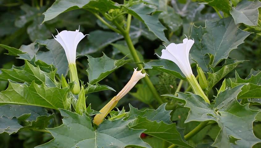 Stock video clip of white datura flowers shutterstock mightylinksfo