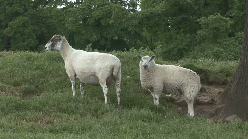 A ewe and her lamb stand. HD.