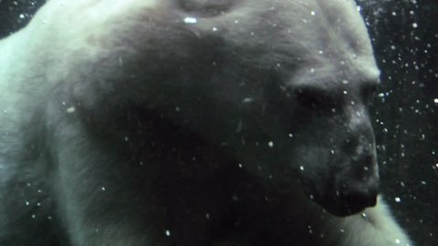 Polar bear swimming and shows scar on back.