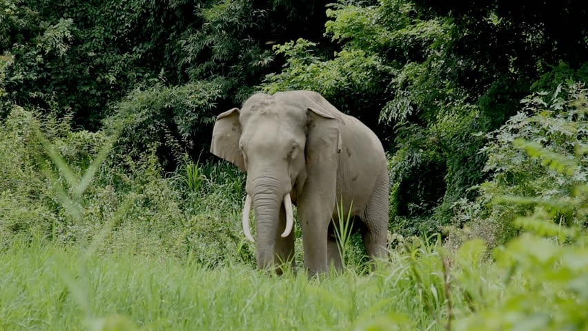 wild elephant in Forest edge.