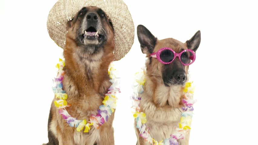 Pets, animals and behavior, two funny purebred german shepherd dogs with hat and sunglasses. Studio shot, white background. Part 10 of 14 | Shutterstock HD Video #4576853