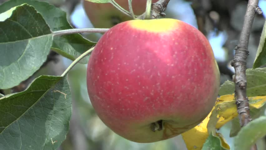 Eating apples growing on a apple tree
