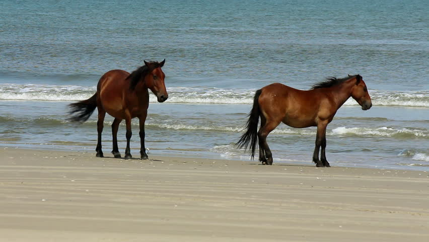 Two wild horses cool  their hooves in the surf of the Atlantic ocean along the outer banks of North Carolina | Shutterstock HD Video #4595333